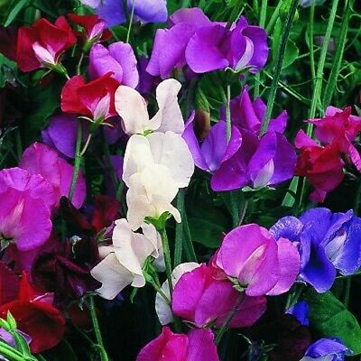8 Sweet Pea Spencer Waved Mix Plug Plants Early Colour And Delightful Fragrance • 7.55£