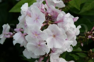 Phlox Paniculata 'Anne' 9cm Pot, Tall Perennial With Large White Pink Flowers • 2.95£