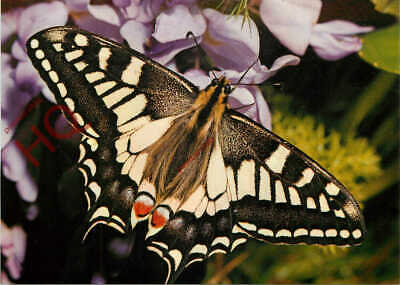 Picture Postcard__Butterfly, English Swallowtail • 3.49£