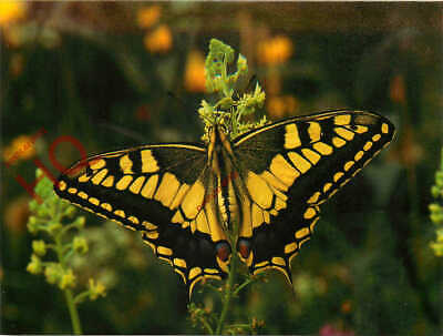 Picture Postcard- Butterfly, European Swallowtail • 3.49£