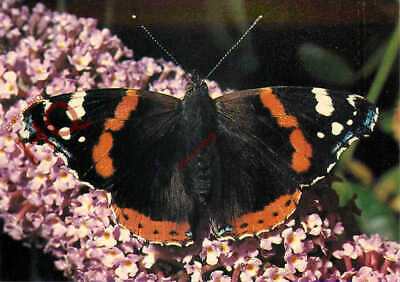 Picture Postcard__Butterfly, Red Admiral • 3.49£
