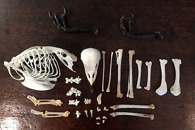 Taxidermy Complete Disarticulated Crow Skeleton Corvid Bird Beetle Cleaned • 75£
