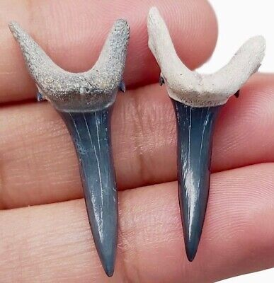 Two Nice Bone Valley - Sand Tiger Sharks Teeth - Real Fossil - No Restorations • 20.98£