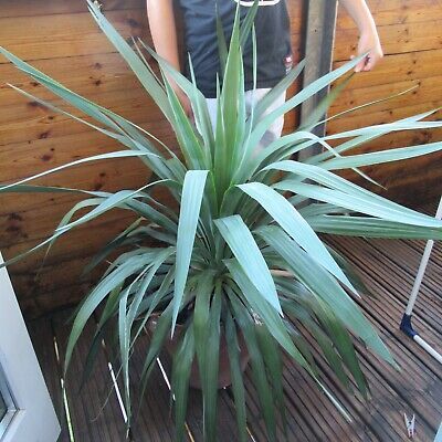 Large/Huge YUCCA FILAMENTOSA PLANT HEALTHY MATURE PLANT - ADAMS NEEDLE • 39£