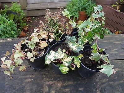 £14.95 • Buy Ivy Collection - 5 X 9cm Pots - Grower's Choice Of Selected Varieties