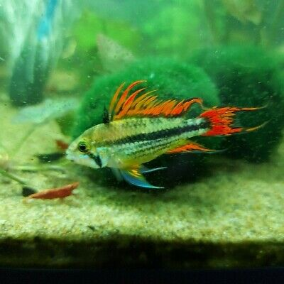 Pair Of Apistogramma Cacatuoides «Double Red» (Dwarf Cichlid) • 20£