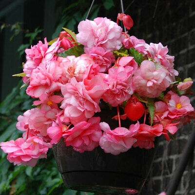 £12 • Buy 3 Trailing Cascade SPLENDIDE BEGONIA BULBS Rosy Pink Blooms For Hanging Baskets