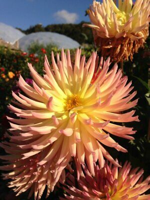 PACK OF 4 CACTUS DAHLIA SHINING STAR BULBS Salmon Pink Flowers TUBERS BARE ROOT • 14.99£