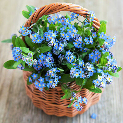 £2.79 • Buy 100 Blue Mini Forget Me Not Seeds Hanging Basket Or Border Flowers To Plant Grow