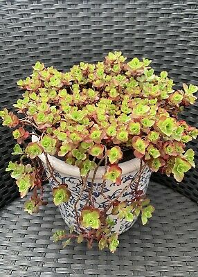 £2.99 • Buy 4 Dragons Blood  Sedum Cuttings Hardy Stonecrop Succulents Groundcover Plant