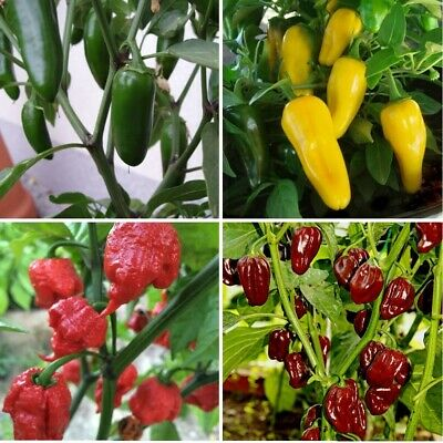 £7.95 • Buy 3x Pepper Choose From 11 Varieties Plug Plants Chili Vegetables Garden-Ready Now