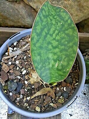 AU28 • Buy Sansevieria - 'Whate Fin' - Plant PUP Large Growing Variety