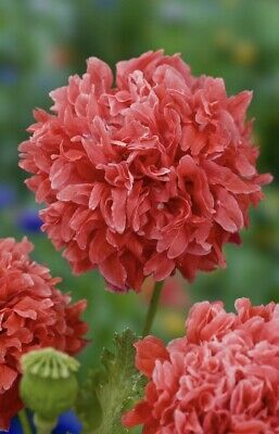 £1.95 • Buy Papaver -  ' Frosted Salmon Peony ' 600 Seeds ( Breadseed Poppy )
