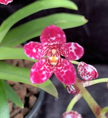 AU49.50 • Buy Orchids Sarcochilus - Name Photo Supply #20