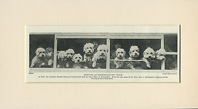 £4.99 • Buy Dandie Dinmont Terrier Dogs Arriving At Dog Show Old 1935 Print Ready Mounted