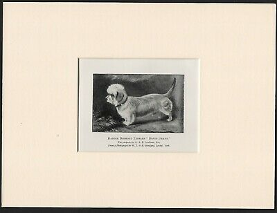 £4.99 • Buy Dandie Dinmont Terrier  Old Antique 1904 Dog Print Ready Mounted