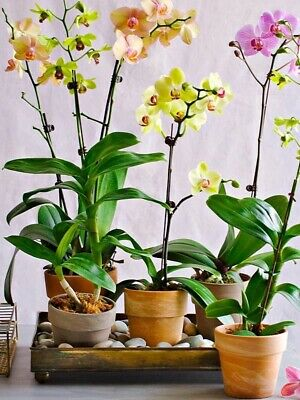 AU5.50 • Buy Butterfly Orchid Flower Bonsai Garden 200/400 Seeds
