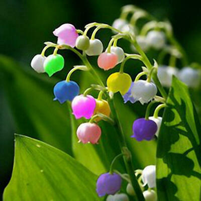AU6.50 • Buy Bell Orchids Lily Of The Valley Mixed Colours Bonsai 100 Seeds/pack