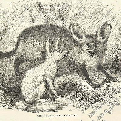 Fennec, Bat-Eared Fox & Cynhyaena: Antique 1866 Engraving Print: Animal Wildlife • 3.95£