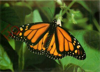 Picture Postcard::Monarch Butterfly • 2.39£