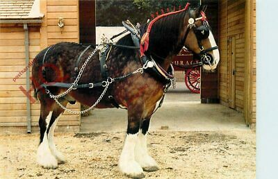 Picture Postcard__Horse, Barley, Courage Shire Horse Centre, Maidenhead • 1.99£