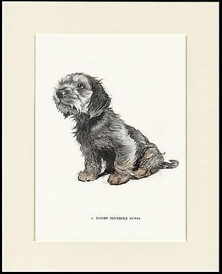 Dandie Dinmont Terrier Puppy Lovely Dog Print Mounted Ready To Frame • 7.99£