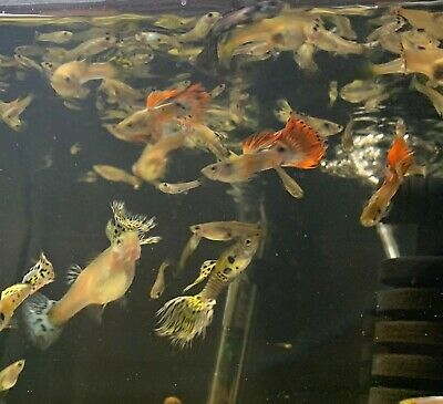 $200 • Buy 25+ Mixed Live Fancy Guppies Adult, Juvenile, Fry Male & Female FREE SHIPPING