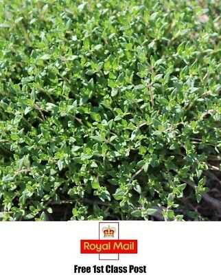 HERB - 1750 X ENGLISH THYME SEEDS - FOR COOKING ITALIAN FREE 1st Class Post  • 3.92£