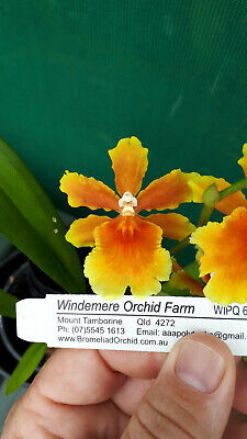AU25 • Buy Orchid  Burrageara Brazilian Sun  This Plant In SPIKE  Oncidium