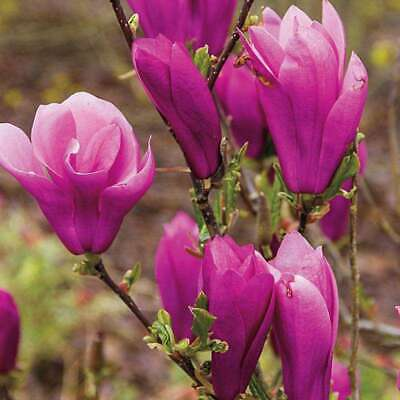 $24.95 • Buy Jane Magnolia Tree - Live Plant - 6-12  Tall - 2.5  Pot - Ships Potted