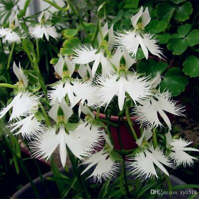 AU6.50 • Buy White Egret Flower Orchid  200 Seeds/pack