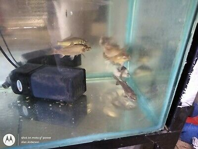 Ghost Koi Carp 5  Pondfish Locally Bred.Top Quality Fish • 5£
