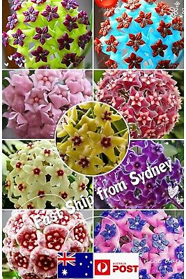 AU4.19 • Buy Colourful Hoya Carnosa Wax Plant Ball Orchid 50 Seeds Mix Bonsai