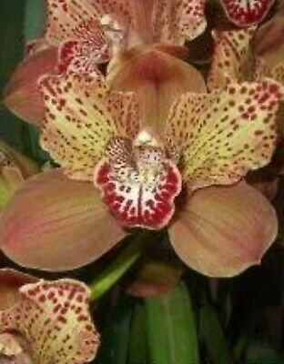 AU65.95 • Buy Cymbidium Orchid Large Flowering Size Division Rothesay Butterfly