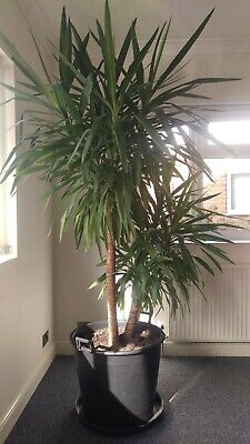 EXTRA LARGE Indoor Yucca - Stunning Specimen Plant - 2.30mts/7ft Tall - 70lt Pot • 275£