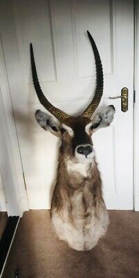 Waterbuck Antelope Head And Shoulders Mount Antlers South Africa Taxidermy • 575£