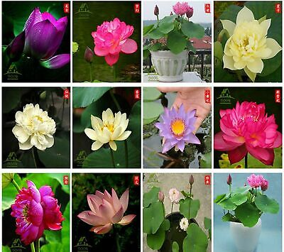 $ CDN36.08 • Buy Bonsai Lotus Seeds,Water Lily Flower Plant,20PCS Finest Viable Mixed Colors A...