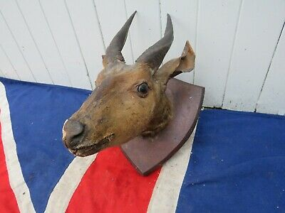 Distressed Old  Taxidermy Antique Victorian African Antelope Stuffed Head  • 200£