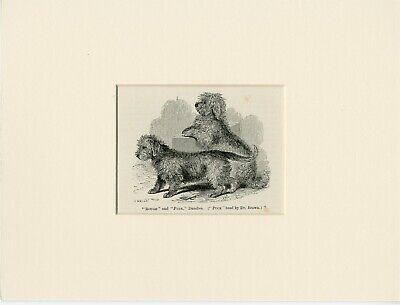 £4.99 • Buy Dandie Dinmont Terrier Named Dogs Antique Engraved Dog Print Ready Mounted