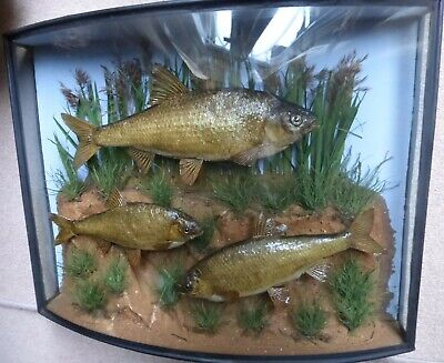 £475 • Buy Taxidermy - 3 Stuffed Roach In Bow Fronted Case With Glass Side Panes