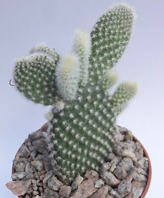 £5.50 • Buy OPUNTIA MICRODASYS 7.5cm Tall BUNNY EARS White-spined Flat-padded Cactus