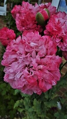 £1 • Buy Peony Poppy Antique Shade, Turkish Poppy Different Colours, 300 Mixed Seeds.