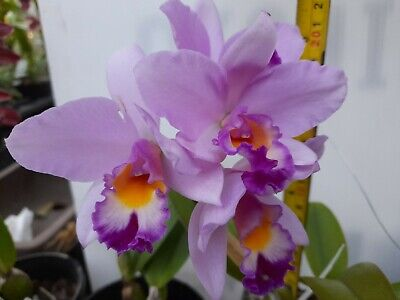 AU55 • Buy FPOrchids Cattleya Orchid. Rth. Hsinying Starlight 'Pink Lady'