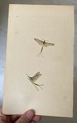 £25 • Buy Late 18th Early 19th Century Hand Coloured Engraving Mayflies Donovan