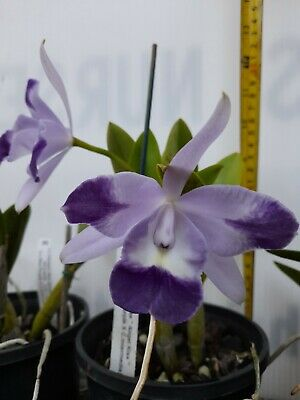 AU55 • Buy FPOrchids Cattleya Orchid. Lc. Cariad's Mini Quinee 'Angel Kiss'