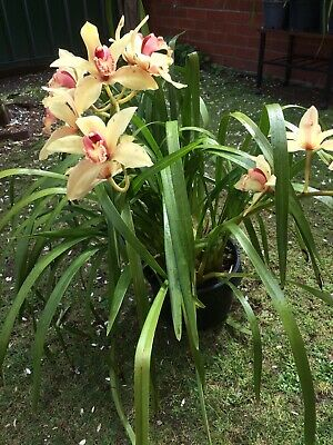 AU35 • Buy Large Potted Yellow Cymbidium Orchid With 2 Flower Spikes