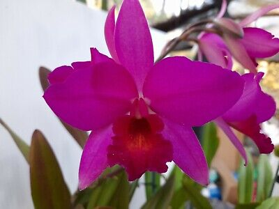 AU45 • Buy FPOrchids Cattleya Orchid. Lc. Miss Wonderful  Imperialis
