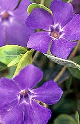 AU7.23 • Buy 40 Fragrant Orchid Color Periwinkle Flower Seeds / Annual Vinca / Deer Resistant