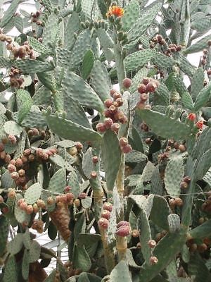 Opuntia Tomentosa - Woolly Jointed Prickly Pear - 25 Fresh Seeds • 1.25£