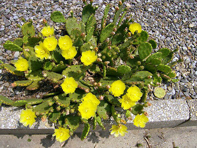 25 EASTERN PRICKLY PEAR CACTUS SEEDS - Opuntia Humifusa  - Cold Hardy  • 4.25£